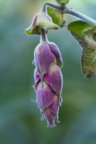 Purple Hanging Pod